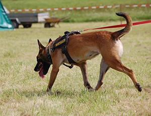 Mantrailing für Familienhunde
