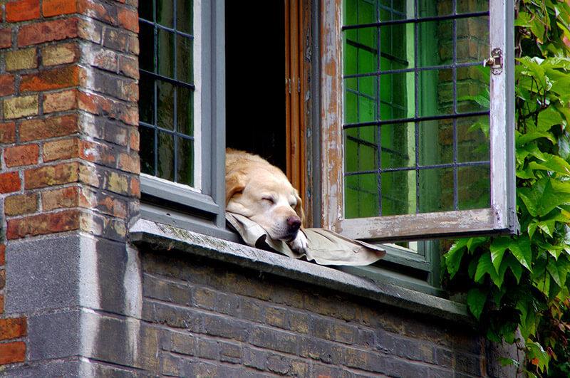 Relaxter Hund schaut aus dem Fenster