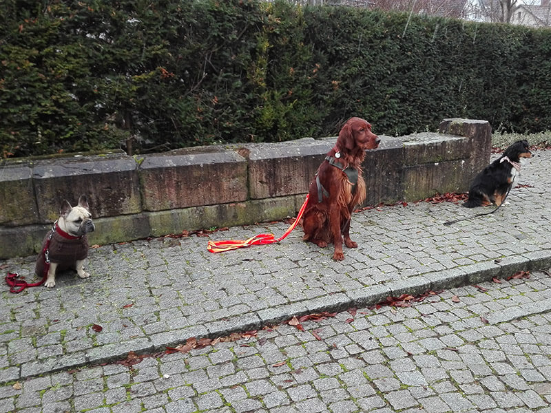 Hunde lernen Bleib in städtischer Umgebung