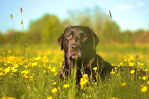 Alter Hund liegt im Gras