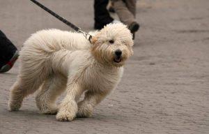 Hund zieht an der Leine ein Fall für den Social Walk